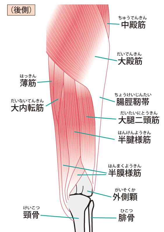 大腿の筋肉
